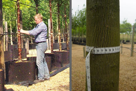 Measuring the girth of a standard tree