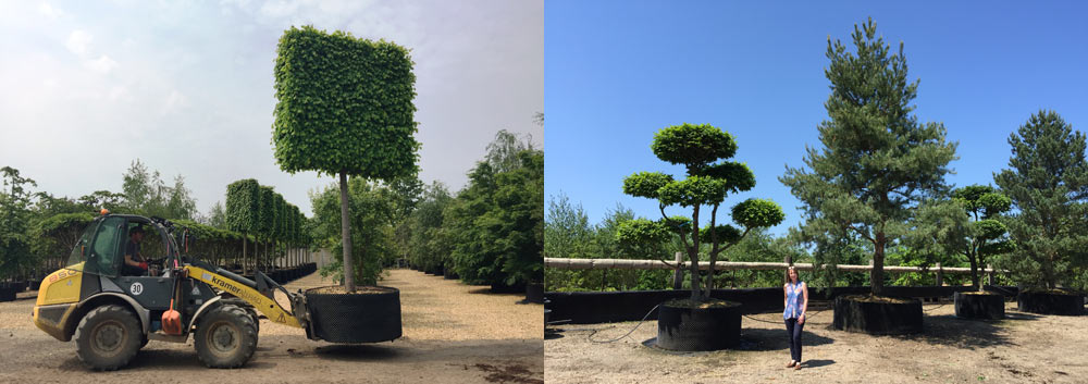 Large mature trees for sale