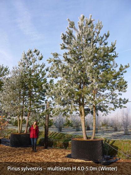 mature oak a tree Transplant
