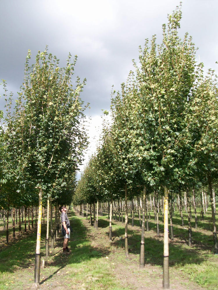 Standard Trees: Semi Mature Pyrus Chanticleer 40-45-50cm