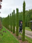 Thuja occidentalis Smaragd H 3.5m clipped