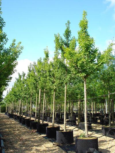 Ginkgo Biloba Maidenhair Tree Deepdale Trees