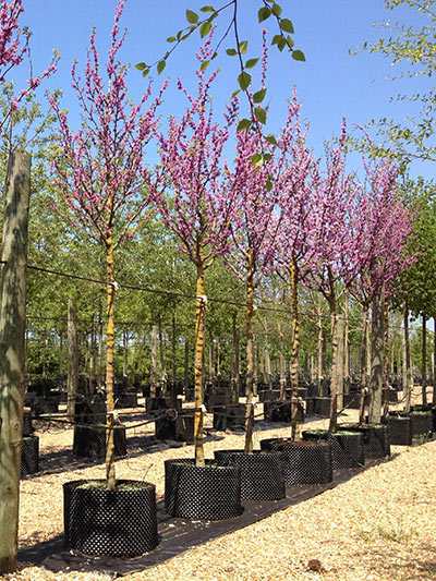 Cercis Siliquastrum Judas Tree Deepdale Trees