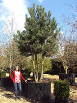 Pinus Nigra Austriaca Austrian Or Black Pine Deepdale Trees