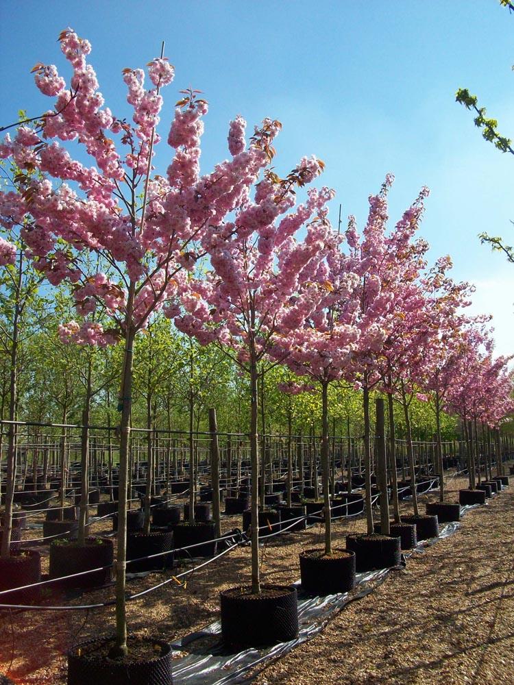 Prunus Serrulata Kanzan Cherry Kanzan Deepdale Trees