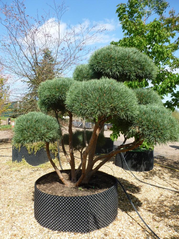 Pinus Sylvestris Watereri Dwarf Scots Pine Deepdale Trees