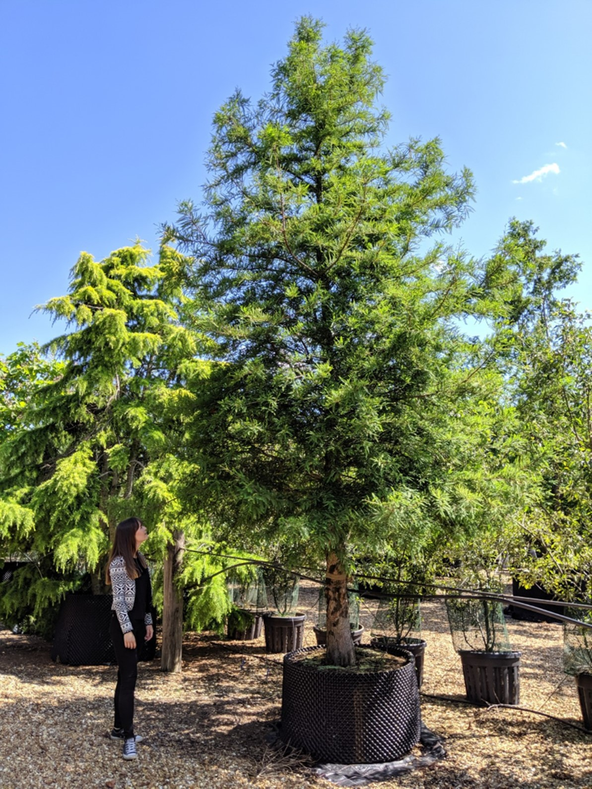 BALD CYPRESS   Forestfarm