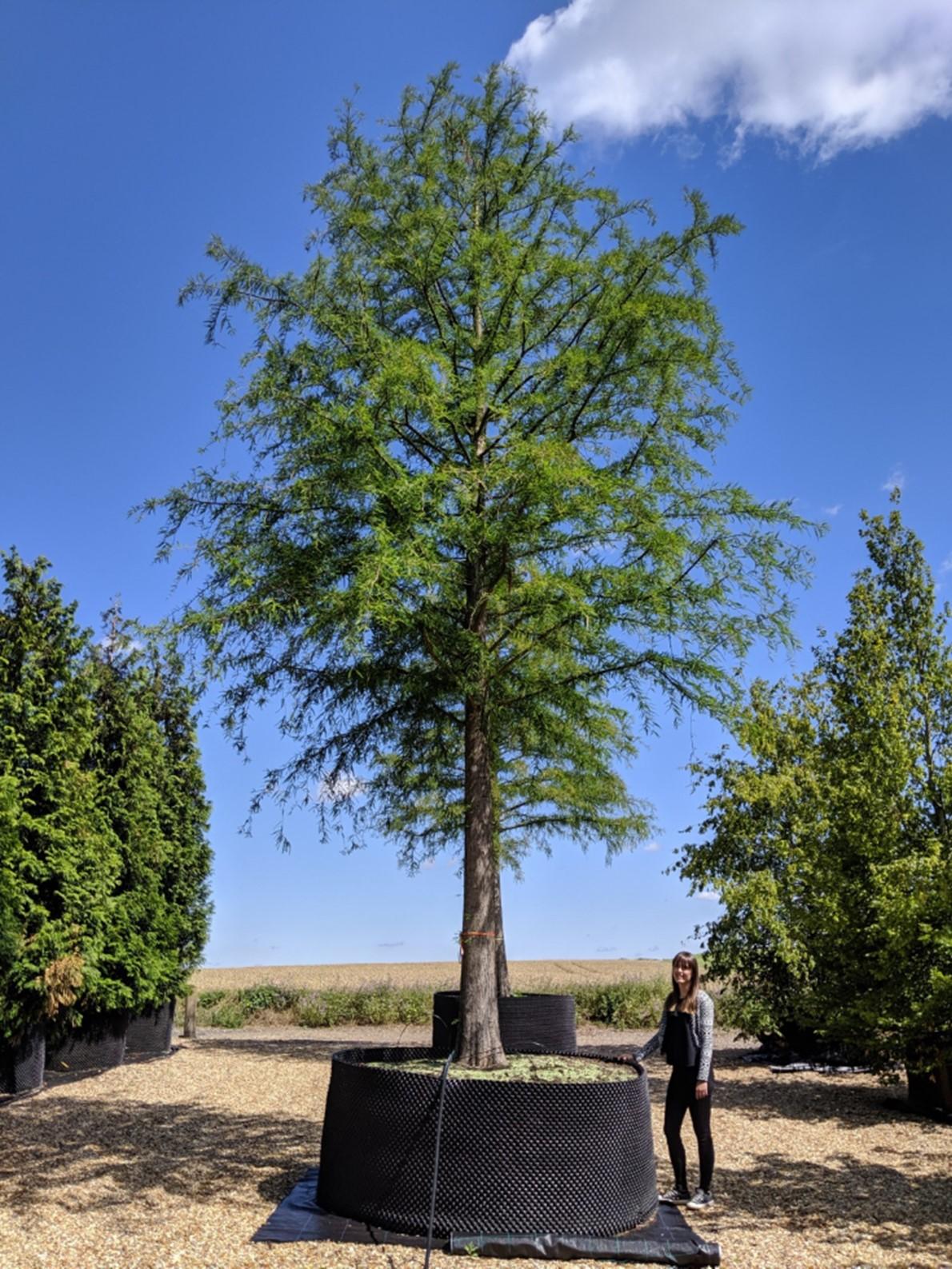 Bald Cypress NORTHERN, Taxodium distichum Northern, FRESH