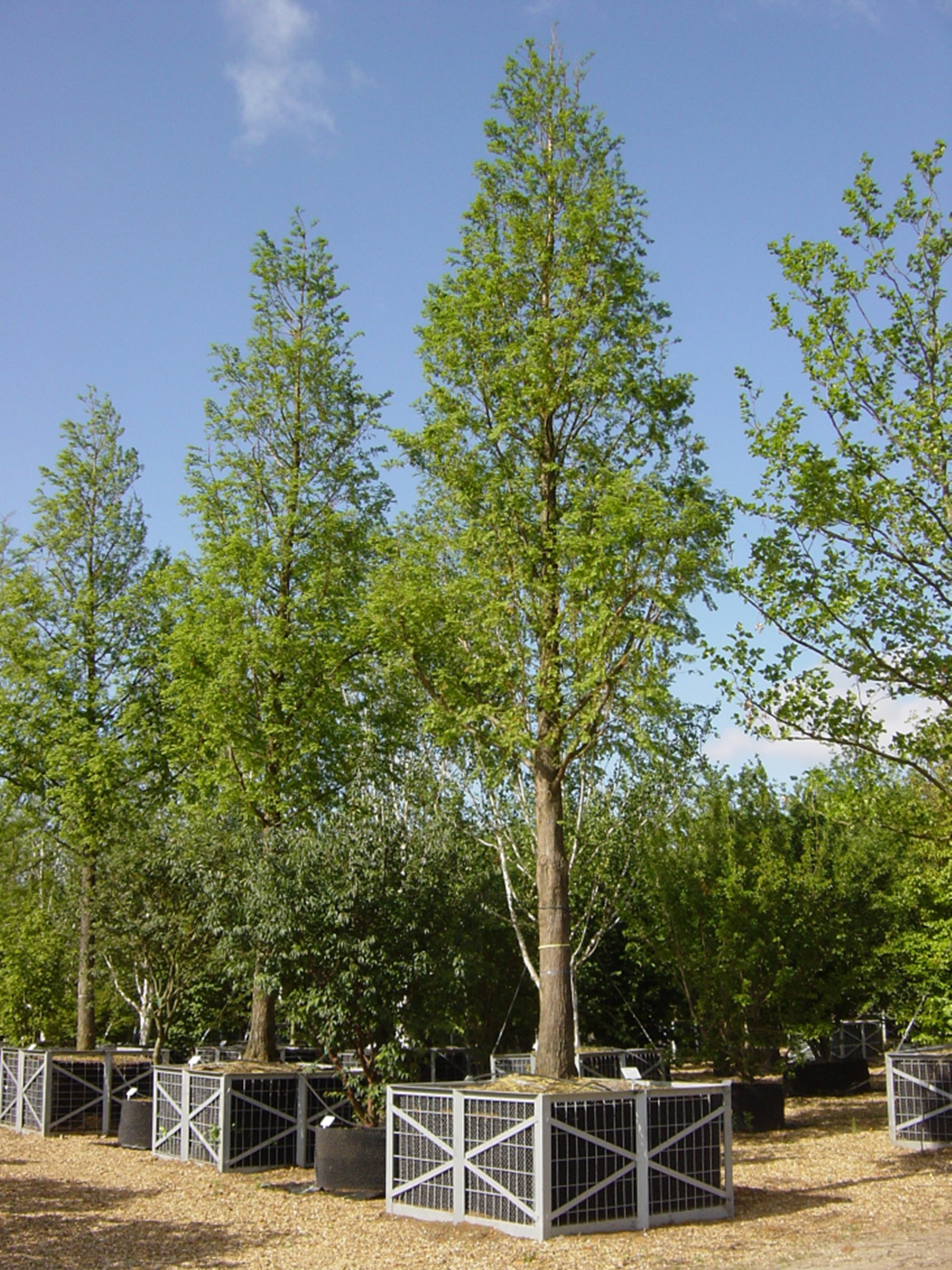 Taxodium Distichum - Pendens   Buy Trees Online   Forestfarm