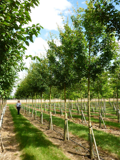 Acer Campestre Field Maple