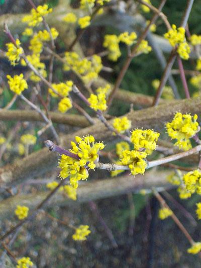 Cornus mas cornelian cherry cornus mas an abundance of yellow flowers cover bare stems in spring mightylinksfo