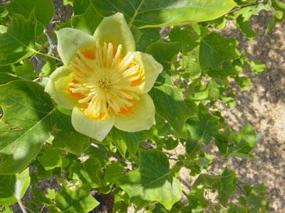 Liriodendron Tulipifera Flower Beautiful tulip flowers after