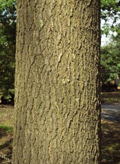 Quercus Palustris Pin Oak Or Swamp Oak