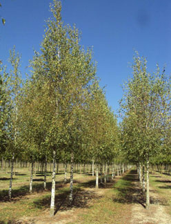 Betula Pendula Silver Birch Lady Of The Woods