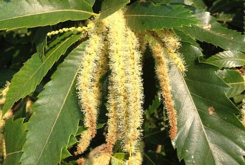 Castanea Sativa Sweet Chestnut