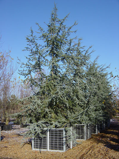 Blue Cedar Tree Varieties ~ Cedrus atlantica glauca blue atlas cedar deepdale trees