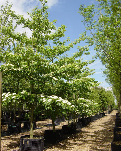 Cornus Controversa Wedding Cake Tree