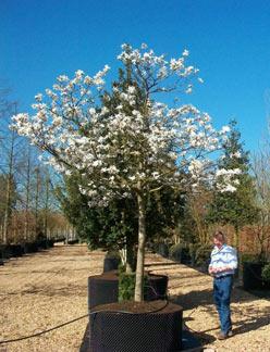 Magnolia X Loebneri Löbners Magnolia