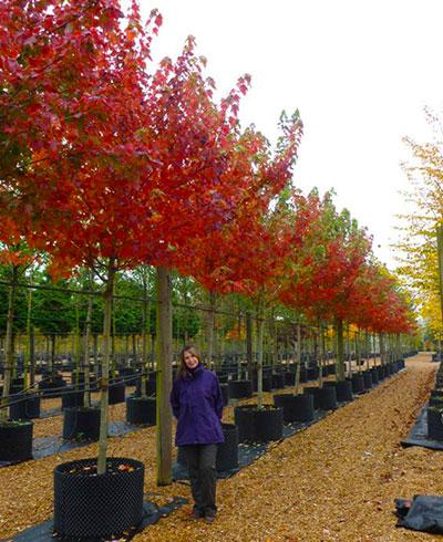 Acer X Freemanii Autumn Blaze Freemans Maple Deepdale Trees