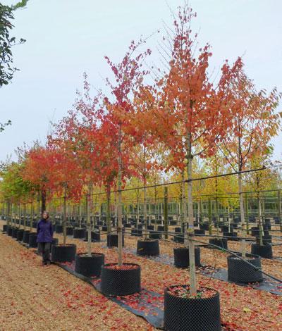 Acer Davidii Snakebark Maple Père Davids Maple