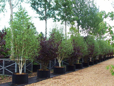 nursery mature singles Martin's nursery semmes alabama wholesale only specializing in azaleas and ornamentals.