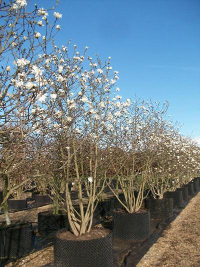 magnolia stellata star magnolia. Black Bedroom Furniture Sets. Home Design Ideas