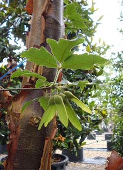 Acer Griseum Paperbark Maple