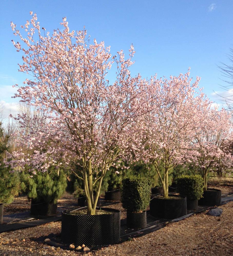 prunus cerasifera 39 nigra 39 black cherry plum. Black Bedroom Furniture Sets. Home Design Ideas