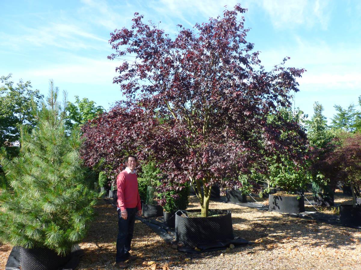 Prunus Cerasifera Purple Leaf Plum Prunus cerasifera 'Nig...