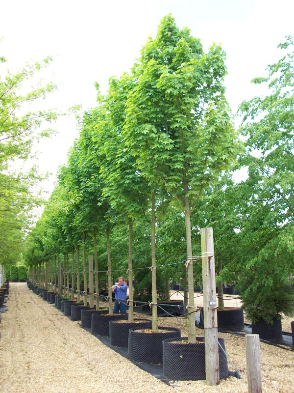 Acer Platanoides Emerald Green Norway Maple