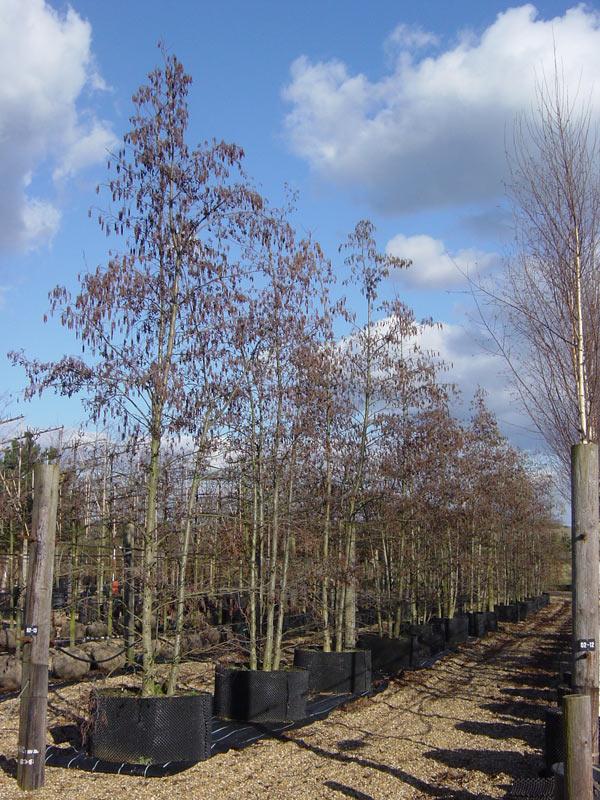 Alnus Glutinosa Common Alder
