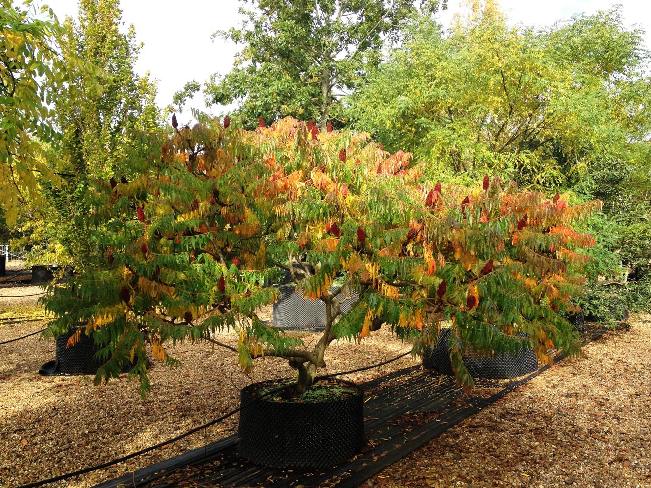 Rhus typhina - Stag's horn sumach