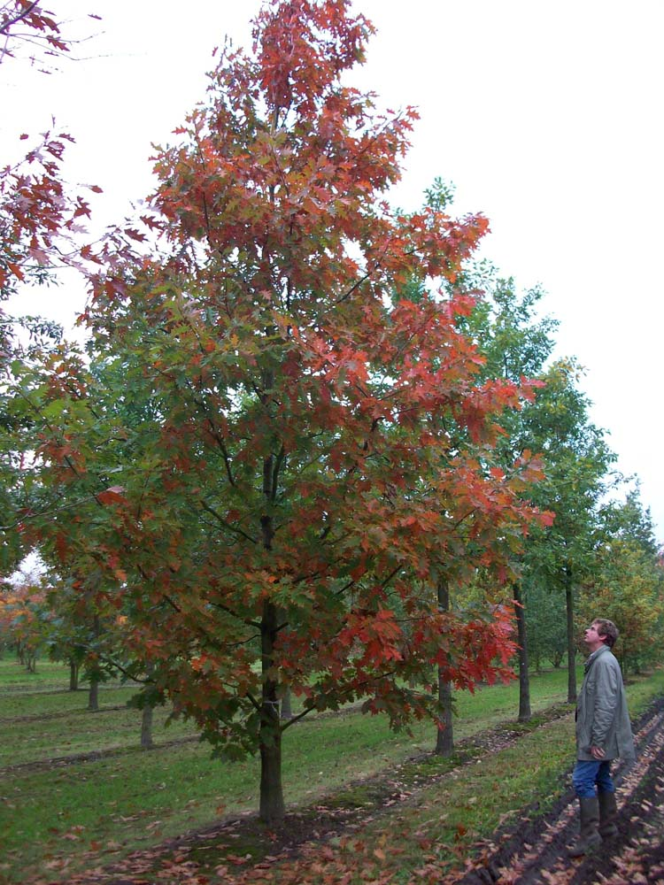 Picture of Live Northern Red Oak aka Quercus rubra Plant Fit 5 Gallon Pot